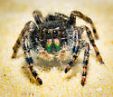What Kind of Jumping Spider? - Phidippus