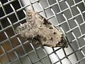 Small Moth ID?