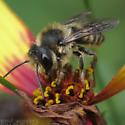 Leafcutter Bee centuncularis ? - Megachile centuncularis - male