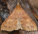 moth - Renia fraternalis