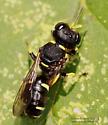 Wasp - Ectemnius continuus