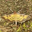Paler Diacme Moth  - Hodges#5142 (Diacme elealis) - Diacme elealis
