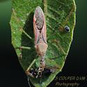 Leaf-hopper Assassin Bug - Zelus renardii? - Zelus renardii