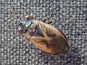 Big-eyed Bug - Geocoris