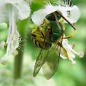 Metallic Green Bee - Agapostemon sericeus? - Agapostemon sericeus - male