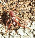 Coleoptera--Cerambycidae? - Neoclytus senilis