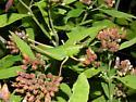 katydid green pink legs species? - Neoconocephalus triops - female