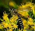 Yellow and black wasp - Myzinum - male