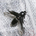 Elateridae - Hemicrepidius