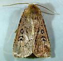 Graphiphora augur - Brocade Moth 10928 - Graphiphora augur