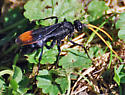 Wasp on the prowl. Entypus unifasciatus? - Entypus unifasciatus