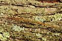 Walking Sticks - Diapheromera femorata - male - female