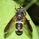 wasp mimic syrphid - Spilomyia sayi - female
