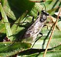 Black Wasp - Arenetra nigrita - female