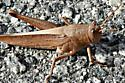 Looks like a brown grasshopper, what is it? - Schistocerca damnifica - female