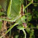 Common True Katydid - Pterophylla camellifolia - male