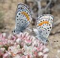 Bernardino Dotted Blue, Euphilotes bernardino - Euphilotes bernardino - male - female