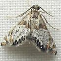 Petrophila jaliscalis