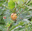 Adleria quercusstrobilana (Pine Oak Gall) - Andricus quercusstrobilanus
