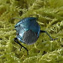 Blue-Green Stink bug - Zicrona caerulea