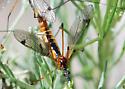 Mating Pair: Tiger Crane Flies? - Tipula