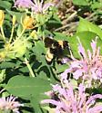 Black and gold bumblebee? - Bombus auricomus