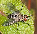Dipteran - Calolydella lathami