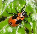 Lygaeus kalmii (Small milkweed bug) - Lygaeus kalmii