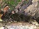 Millipedes #7 Paw Paw - Oxidus gracilis