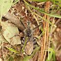 Wheel Bug - Dorsal - Arilus cristatus - male