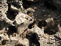 Termite Colony - Tenuirostritermes cinereus