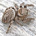 Jumping Spider ~5mm - Evarcha