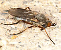 Small fly with pointed abdomen - Rhamphomyia