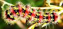 Willow caterpillar ID - Acronicta oblinita