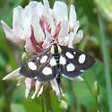 4958 White-spotted Sable - Anania funebris