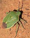 Stink Bug Chlorochroa sayi or uhleri - Chlorochroa