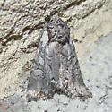 Unk. Noctuid - Lacinipolia teligera