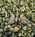 moth 20 - Chytonix palliatricula