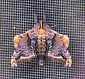 Hawk Moth ? - Paonias myops