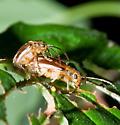 Mating Pair - Pyrrhalta viburni - male - female
