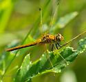 Cherry-faced meadowhawk - Sympetrum internum - female