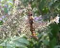 Spot-winged Glider - Pantala hymenaea - male
