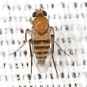 Ant-decapitating Fly - Apocephalus