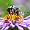 Bee on New England Aster - Megachile frigida
