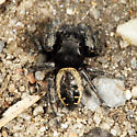 jumping spider - Phidippus purpuratus - male