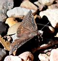 Cloudy or Duskywing white head @ Big Bend NP - Erynnis brizo