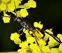 Thread-waisted Wasp - Gasteruption