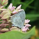 Azure - Celastrina neglecta