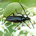 Beetle Unknown - Pseudostrangalia cruentata