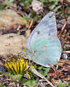 Which colias butterfly is this? - Colias
